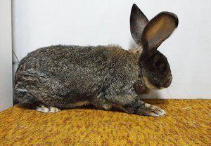Порода кроликів ризен: опис і зміст