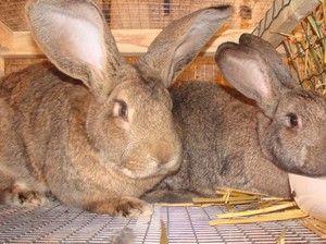 Порода кроликів сірий велетень: опис і особливості догляду