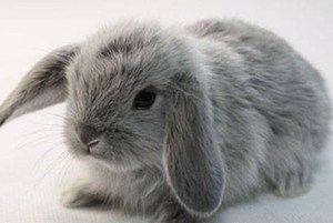 Порода кроликів висловухий баран: опис і зміст