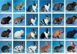 Породи кроликів, з фотографіями і назвами