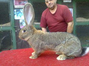 Породи найбільших кроликів в світі