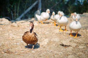 Породи качок для домашнього розведення
