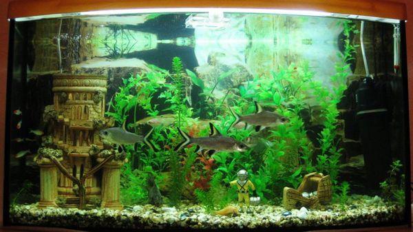 Žraločia guľová ryba v akváriu