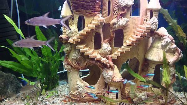 Žralok balu s inými druhmi akvarijných rýb