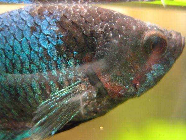Biele bodky na akvarijných rybách
