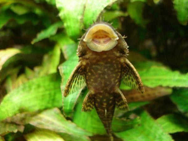 Анциструси Скобля поверхню акваріума в пошуках їжі