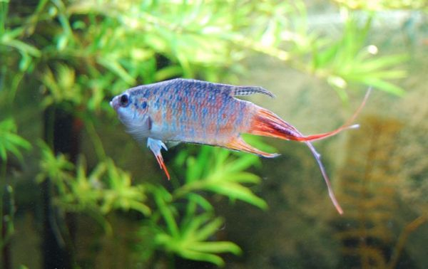 Акваріумна рибка макропод