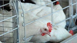 Признаци на болест на нюкасълска болест при пилета