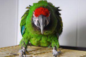 Проблеми и заболявания на крилата на папагалите: фрактури, дислокации, подуване
