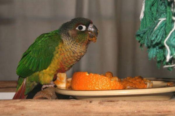 Папагалът се храни