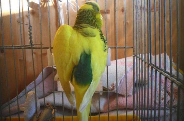 При папагал едното крило е по-ниско от другото