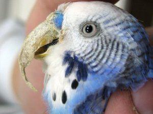Проблеми с клюна на папагал: растеж, наслояване и други заболявания