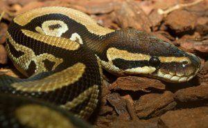 Продължителността на живота на змиите в природата и у дома, може змиите да живеят без глава