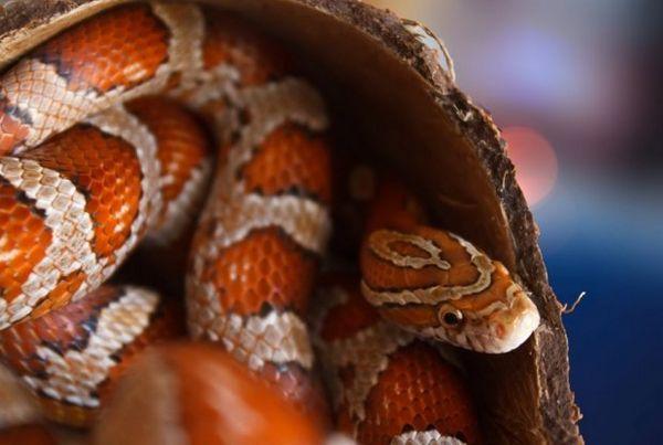 Kukuričný had
