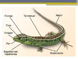 Анатомия на подъл гущер