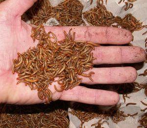 Брашно червеи за гущери