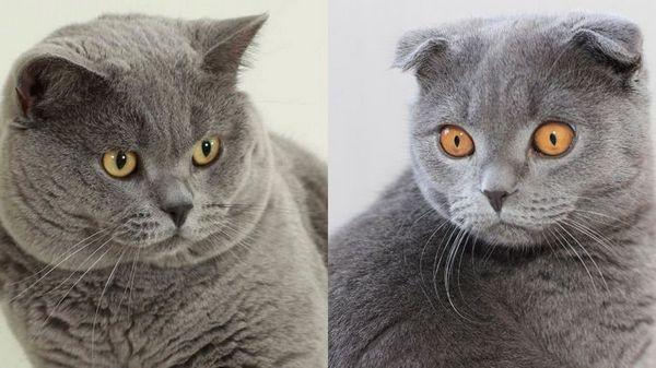 Разликата между британските и шотландските котки