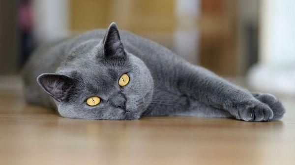 Британска котка