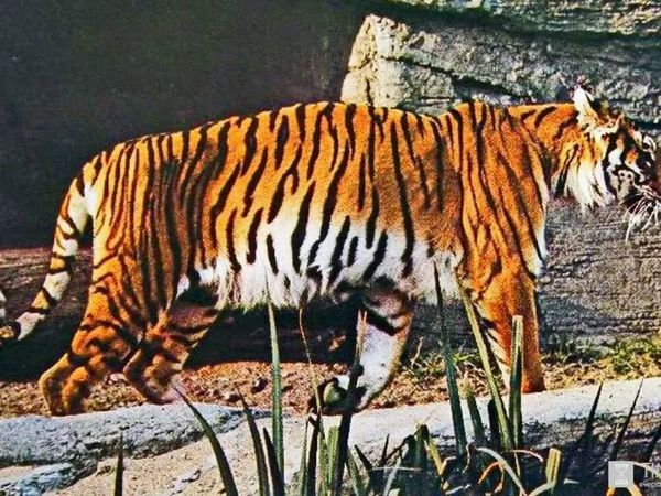 Закавказки тигър на пиедата