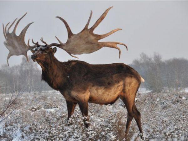 Елен с елен рога в полето
