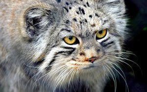 Манул - котка