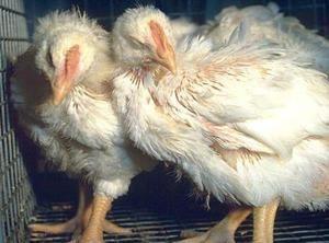 Респираторна микоплазмоза при пилета бройлери симптоми и лечение