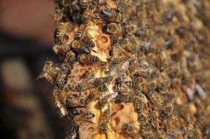 Rojenie včiel a opatrenia na jej zabránenie