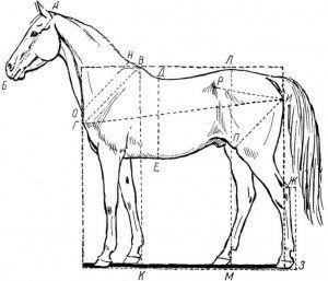 Зростання коней - особливості, вимір, стимуляція