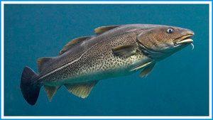 Aké ryby sú treska