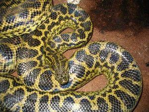 Najdlhší had na svete, veľké hady