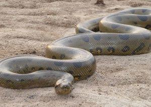 Najväčšie hadie pytóny