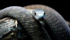 Най-отровната змия в африка - черна мамба