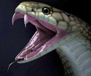 Най-голямата отровна змия - цар кобра
