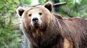 Grizzly - sila a životný štýl zvieraťa