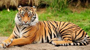 Amurský tiger - vlastnosti