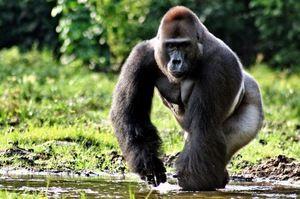 Gorila - zvieracia sila