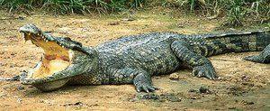 Kde je sila krokodíla