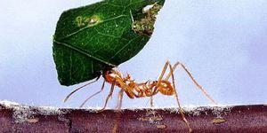 Mravec na rezanie listov je skutočný strongman