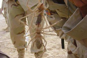 Camel spider - najväčšie a najnebezpečnejšie pavúky