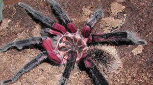 Lososovo ružový tarantula pavúk je najväčší a najnebezpečnejší pavúk