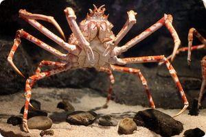 Giant Crab Spider - najväčší pavúky