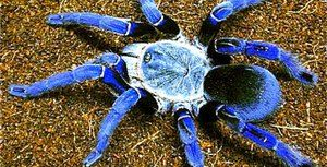 Veľké a nebezpečné pavúky