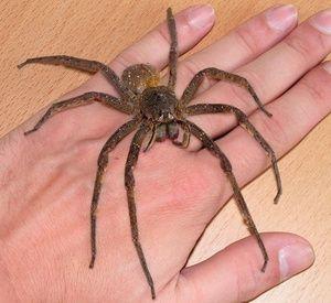 Brazílsky putujúci pavúk - najväčší pavúky na svete