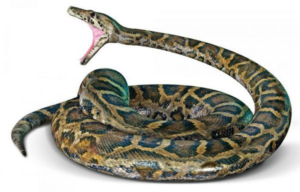 Python tmavý tiger