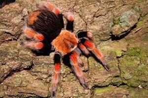 Najjedovatejšie pavúky na svete: distribučné prostredie