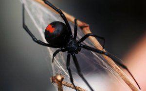 Najjedovatejšie pavúky v rusku