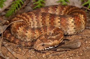 Had v tvare zmije - fotografia plazov