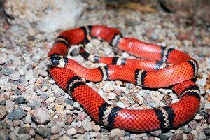 Koralový had - funkcie hada