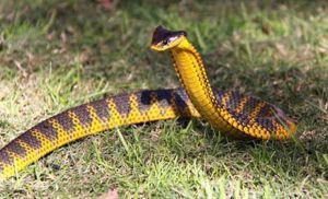 Ako vyzerá tigrí had?