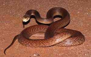 Had Taipan - fotografia najjedovatejšieho hada na svete